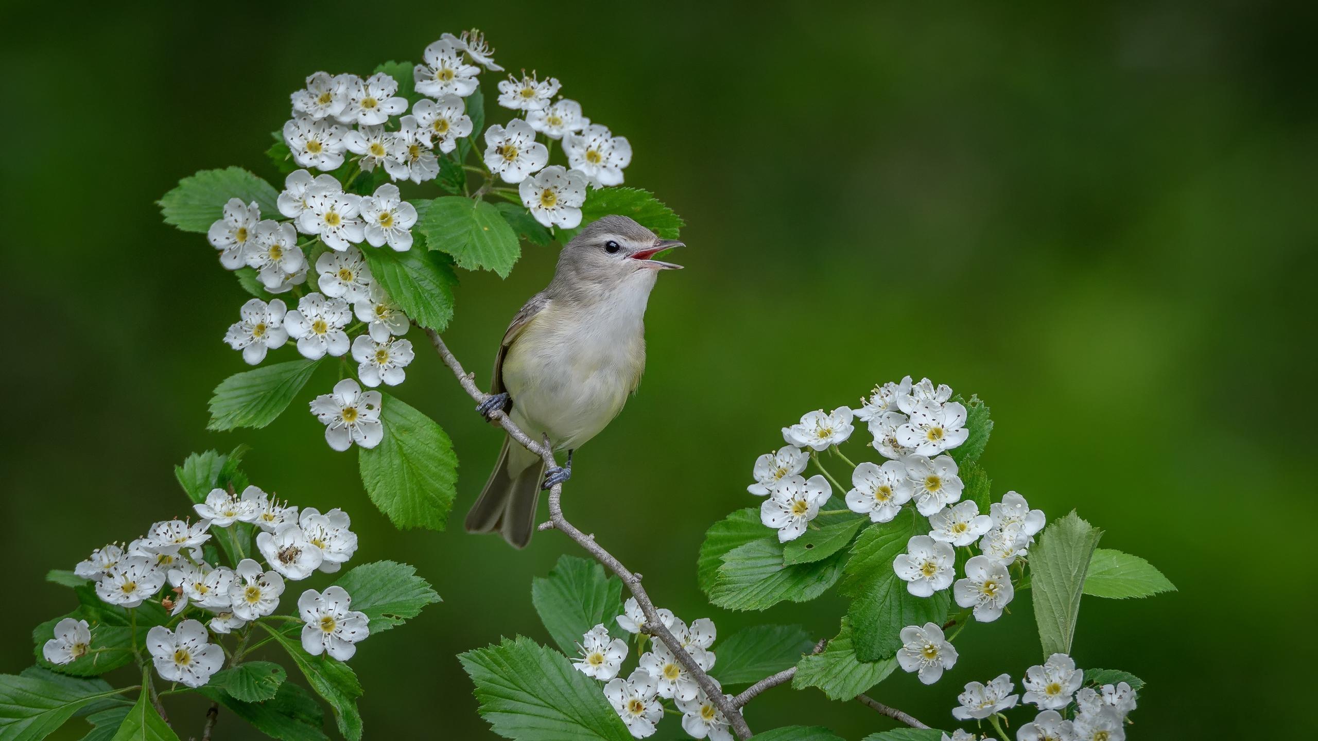 Обои поющий виреон, птица, птица на ветке, цветы