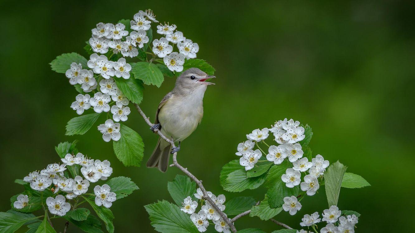 Фото бесплатно поющий виреон, птица, птица на ветке - на рабочий стол