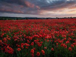 Бесплатные фото закат, поле, цветы, маки, пейзаж