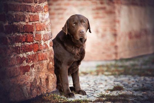 Фото бесплатно лабрадор-ретривер, собака, кирпичи