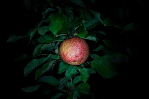Photo free night, Apple, Apple tree