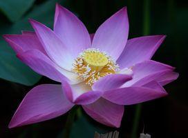Водоем и цветок лотоса