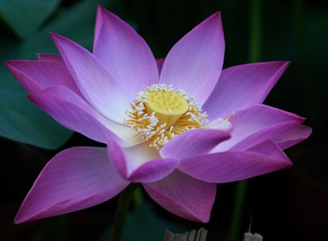 Water body and lotus flower - free photo