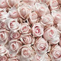 Фото бесплатно розы, лепестки, бутоны