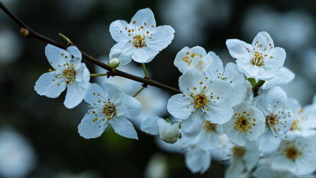 Фото бесплатно весна, цветущая ветка, цветы