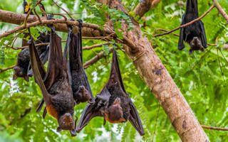 Фото бесплатно Австралийские Крыланы, Летучие лисицы, Национальный парк Нитмилук