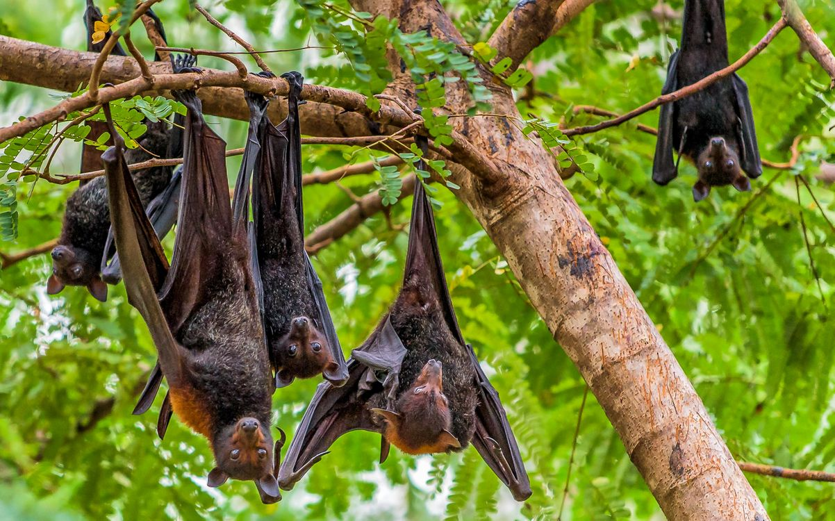 картинка летучая мышь на дереве сама процедура