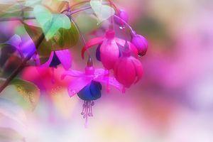 Фото бесплатно Фуксия, Fuchsia, цветы