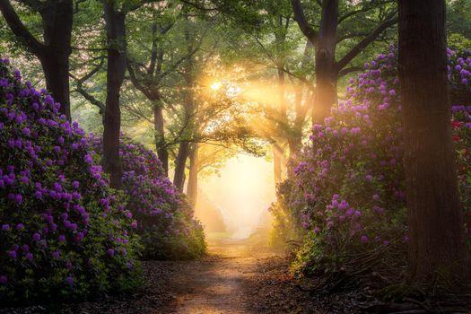 Бесплатные фото рододендрон,цветы,дорожки,путь,солнце,деревья,растения,грязь,природа,Нидерланды,парк,восход