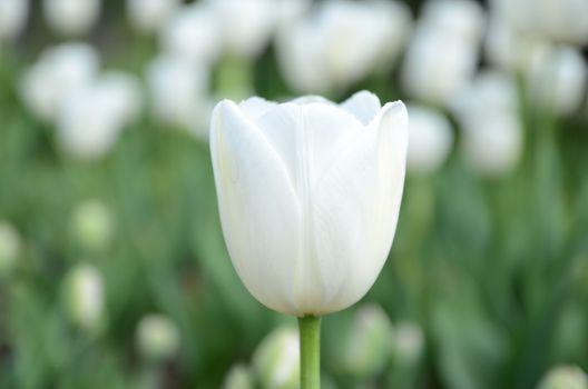 Photo free boke, close, white tulip