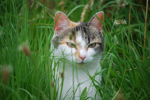 Заставки кошки в траве, животные, взгляд