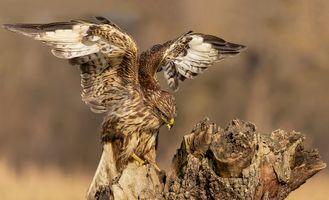 Фото бесплатно крылья птицы, крылья, ястреб