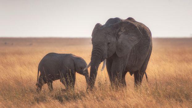 Фото бесплатно семья слонов, поле, растения
