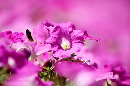 Фото бесплатно цветок, розовый цвет, петуния