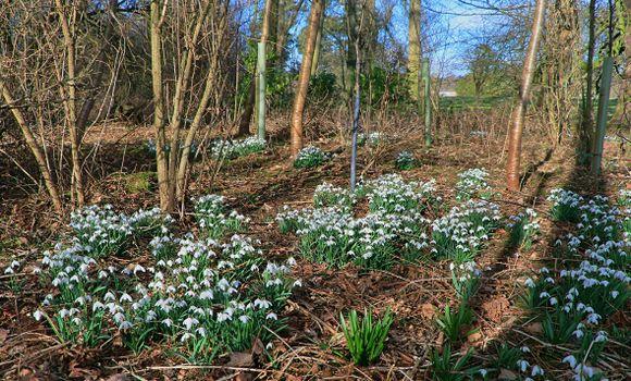 Photo free flowers, spring, galanthus