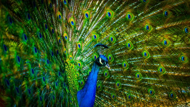 Photo free peacock, colorful feathers, blue