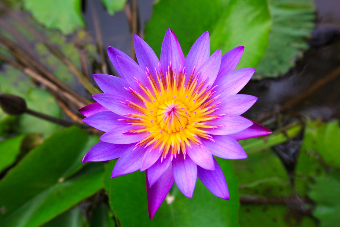 Free photo beautiful flowers, water lily, flowers - to desktop