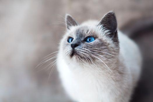 Фото бесплатно кот, пушистый, голубые глаза