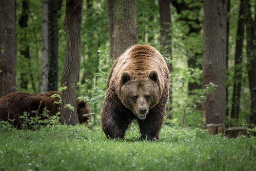 Фото бесплатно хищник, семья медведей, ходить