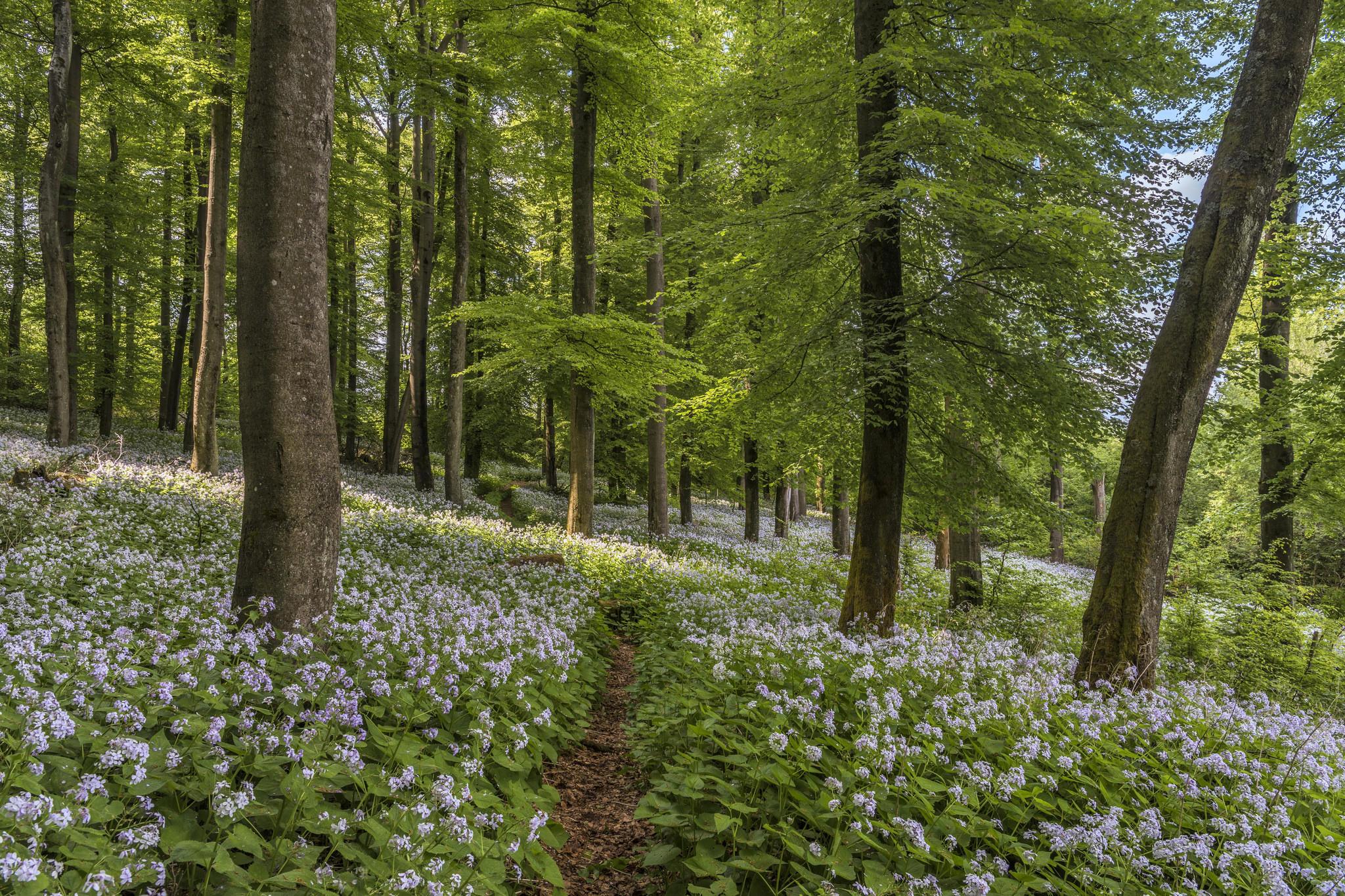 Обои лес, деревья, цветы, тропинка