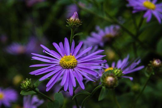 Фото бесплатно цветы, астра, макро