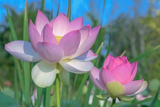 Фото бесплатно красивые цветы, пруд, цветок