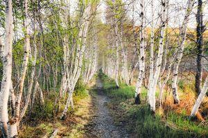 Бесплатные фото лес, деревья, берёзы, тропинка, пейзаж
