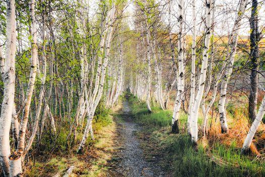Заставки лес,деревья,берёзы,тропинка,пейзаж