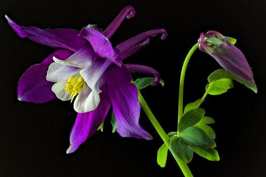 Photo free Aquilegia blue, flower, flowers