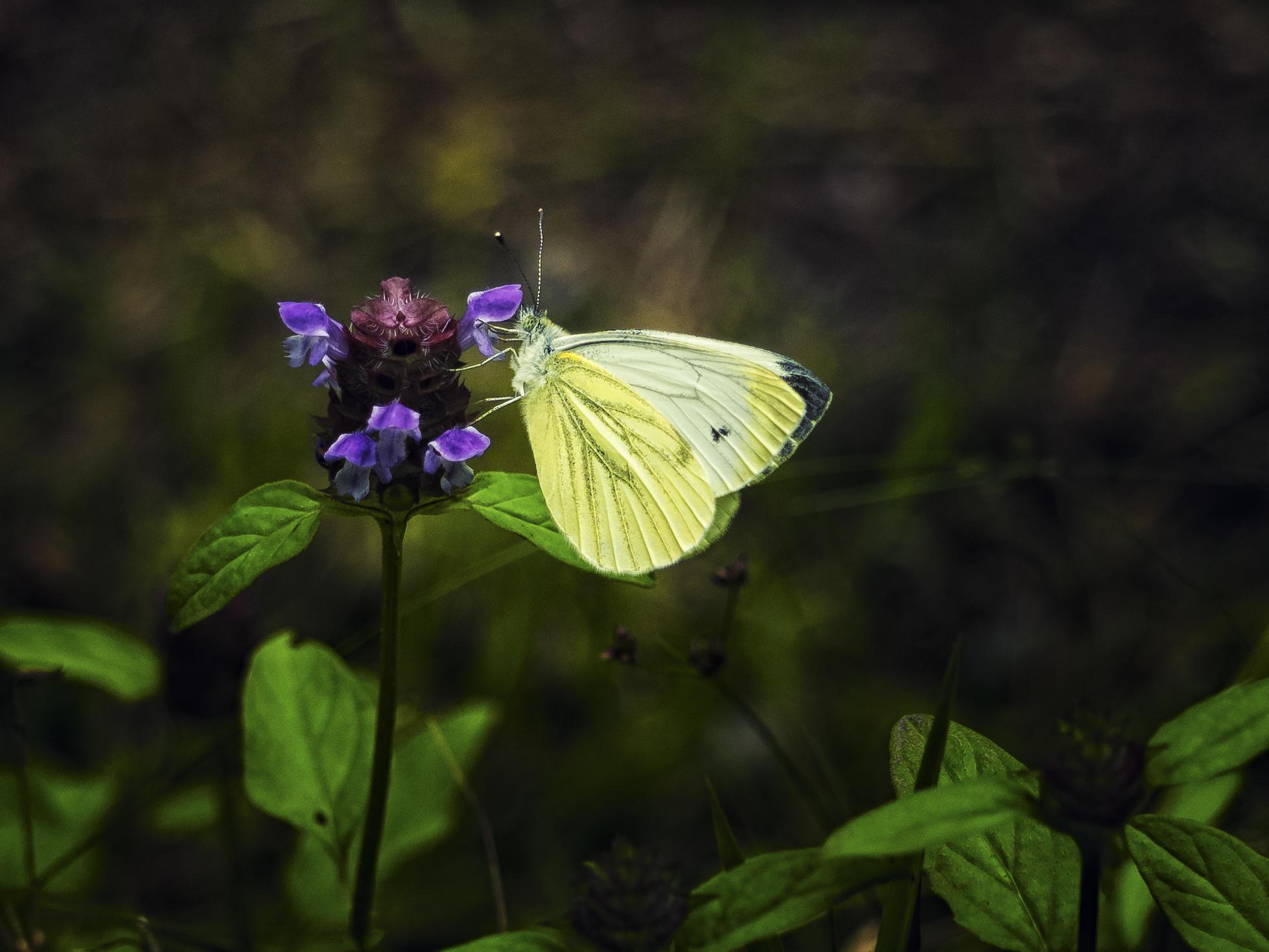 Обои бабочка, цветок, макро