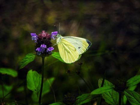 бабочка, цветок, макро