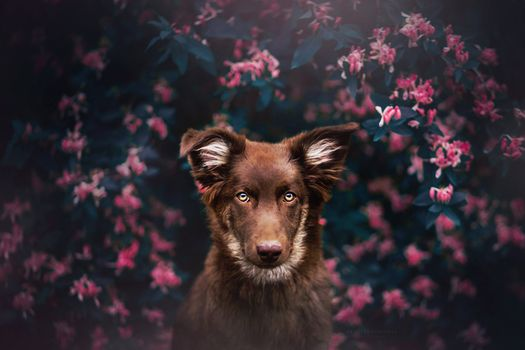 Фото бесплатно пес, бородатый, рыжий