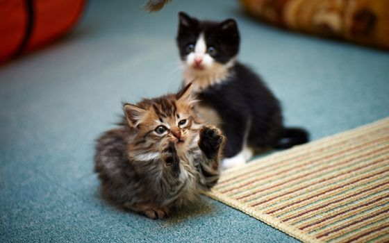 Photo free kittens, playing, adorable