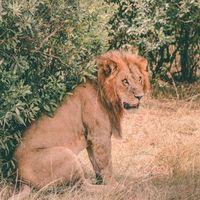 Бесплатные фото лев,хищник,сидит,грива,морда,lion,predator