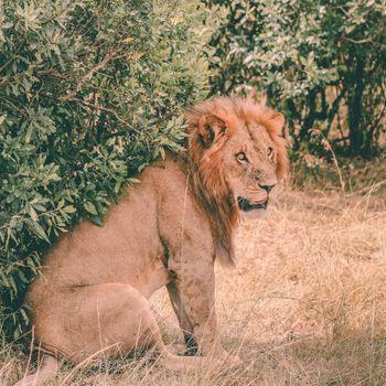 лев,хищник,сидит,грива,морда
