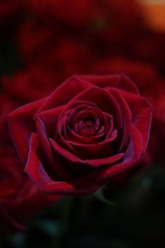 Бутон красивой розы