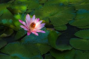 Screensaver water lily, pond free download