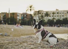 Бесплатные фото Бульдог,собака,сидя,песок,камни,bulldog,dog