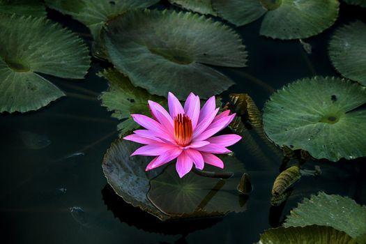 Фото бесплатно листьев, water Lily, цветок