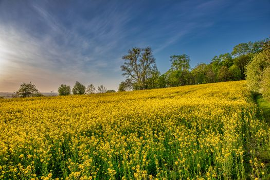 Заставки поле, цветы, рапс