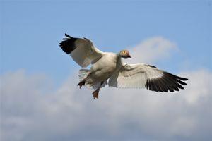 Фото бесплатно птица, гусь, крылья