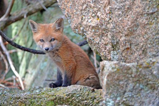 Photo free grey fox, dog like mammal, fox