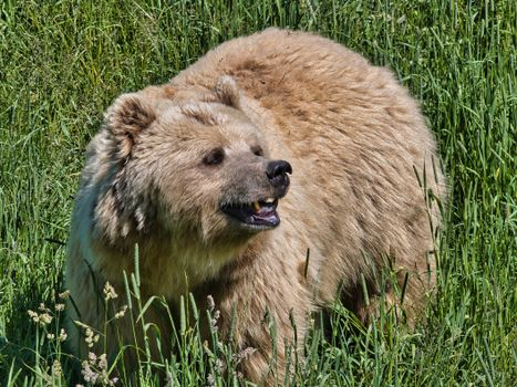 Фото бесплатно бурые медведи трава, медвежья трава, трава