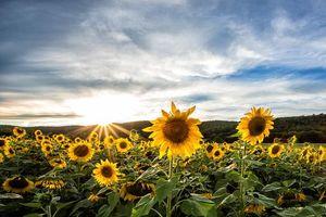 Фото бесплатно закат, поле, подсолнухи, небо, пейзаж