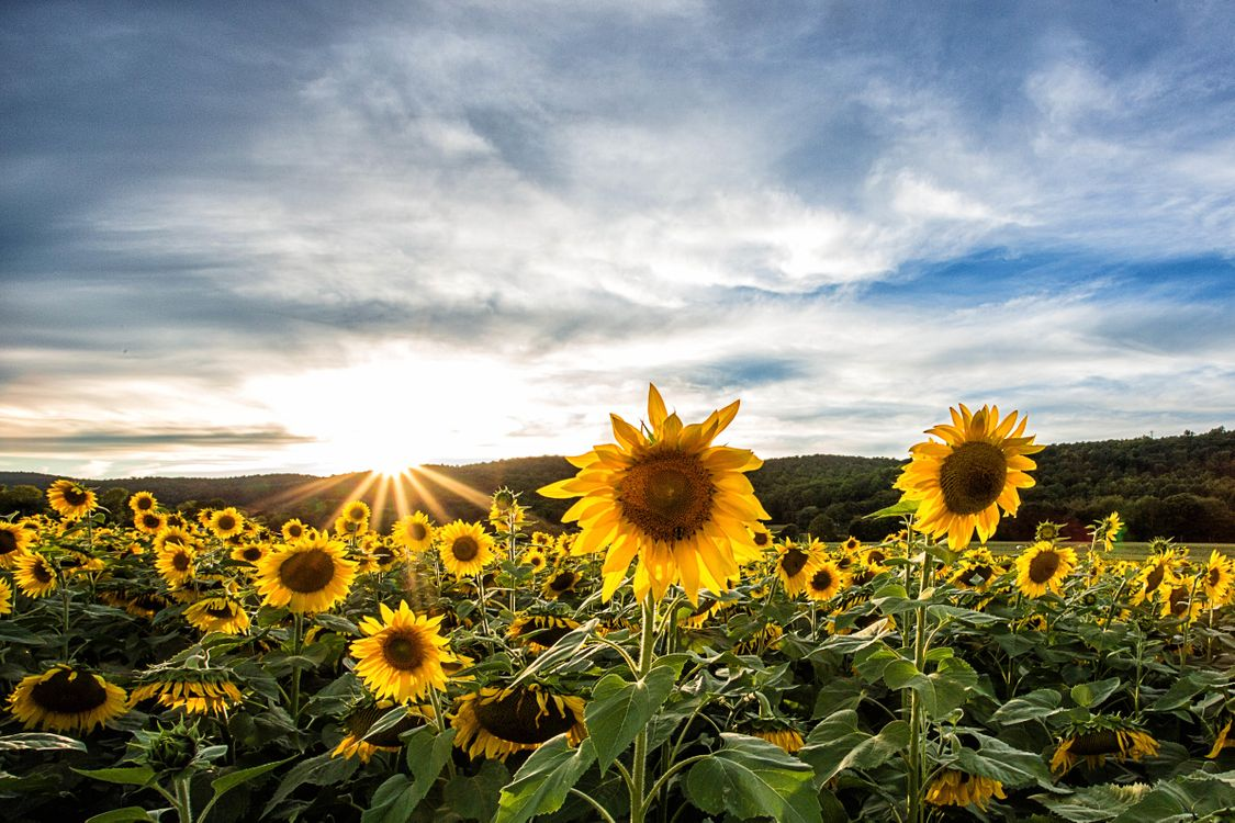 Фото бесплатно закат, поле, подсолнухи, небо, пейзаж, пейзажи