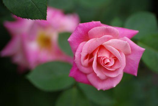 Фото бесплатно флора, роза - на рабочий стол