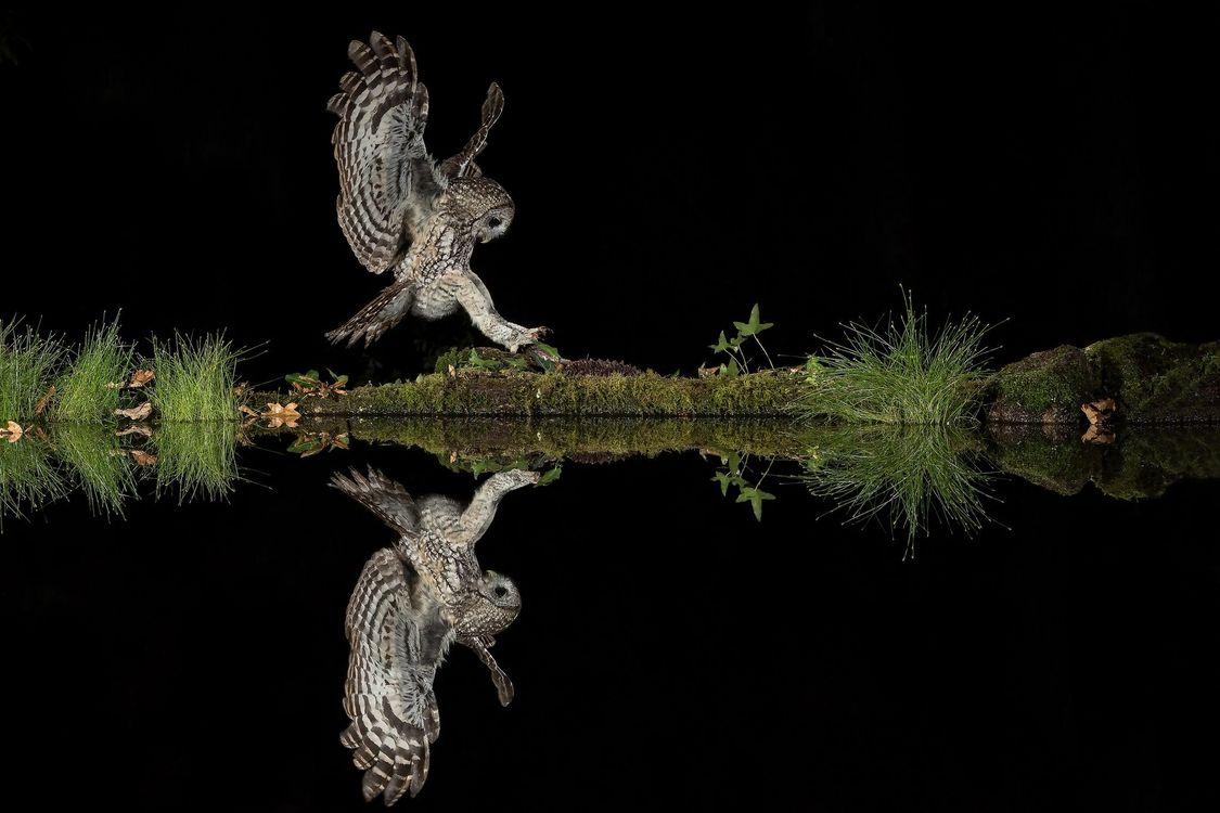 Фото бесплатно ночь, водоём, сова, хищник, отражение - на рабочий стол