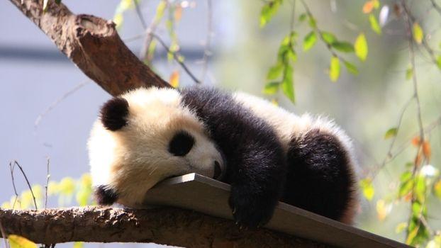 Фото бесплатно панда, милый, дерево