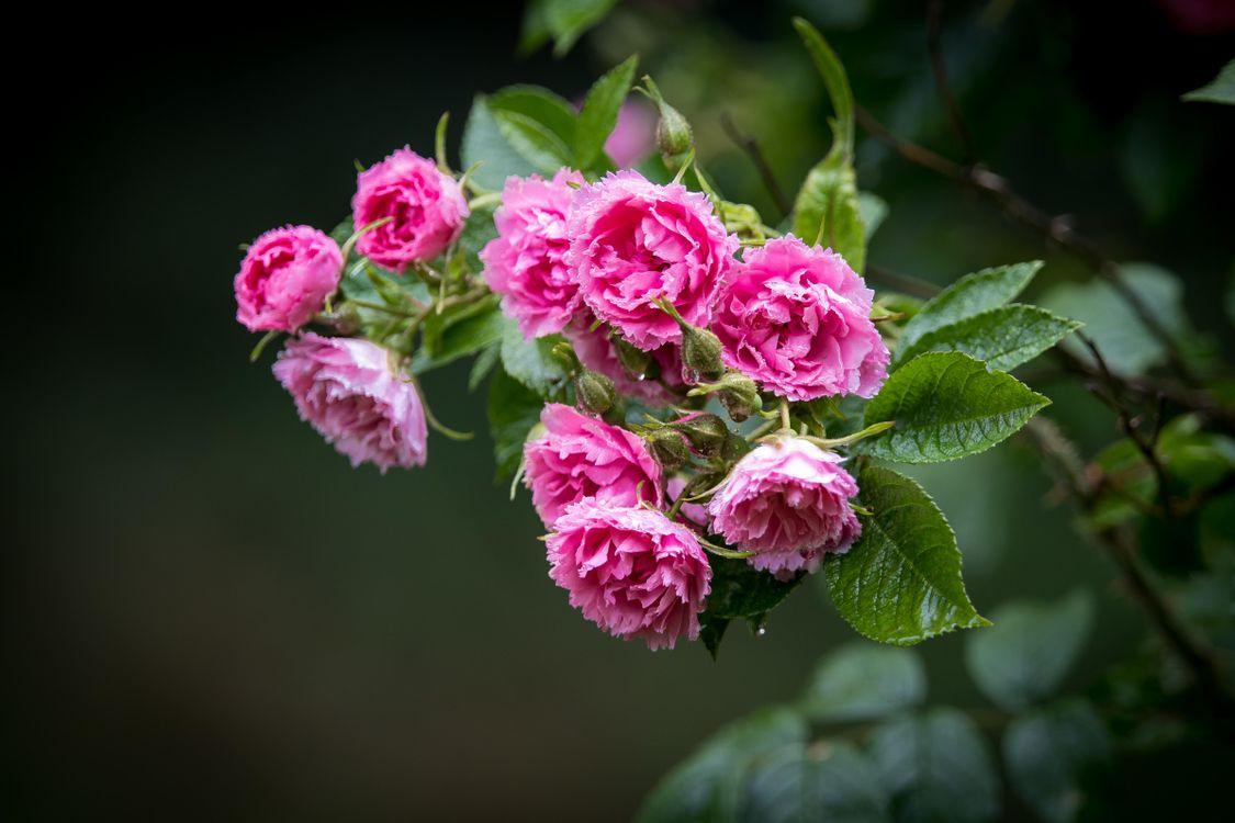 Фото бесплатно розы, роза, цветы - на рабочий стол