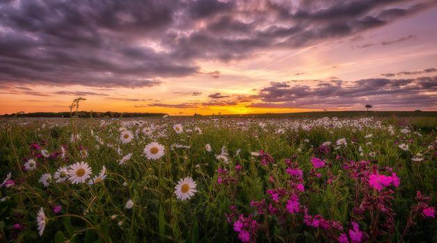 Фото бесплатно закат, флора, ромашки